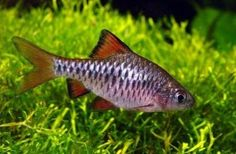 Barbus oligolepis, Checkered Barb