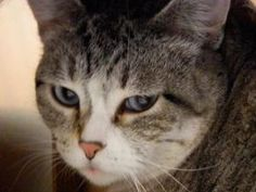 Diamond is an adoptable Domestic Short Hair Cat in Jackson, WY. This blue-eyed tabby female was found as a stray. We've noted no bad habits, she uses her litterbox, she's finew ith people - but other...