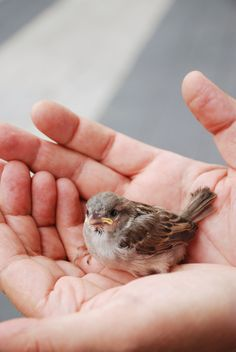 A little sparrow. I had one just like this except when we got him he did have any wings yet! We found my little brother and his friend carrying him around! I took him and we hand fed him. We ended up having him 6 years! His name was Max. I took him everywhere with me. He never flew away. He was precious!