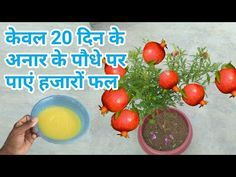 How to make organic fertilizer for pomegranate plant at home, House Plants Decor, Plant Decor, Container Gardening Vegetables, Vegetable Garden, Puttu Recipe, Hibiscus Plant, Organic Fertilizer, Plant Care, Trees To Plant