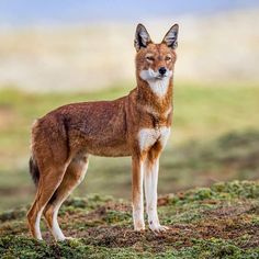 A beautiful Ethiopian Wolf