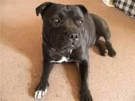 Image result for how much for a purebred english staffordshire