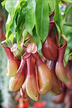"""Nepenthes aka Pitcher Plants - The lowland species are pretty easy to grow. Filtered sunlight & moist (not wet) planting medium. I grow mine of """"orchid"""" moss with a little sand & bark chips mixed in."""
