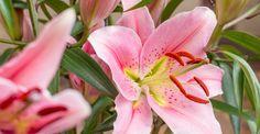 KW 42 kurzstielig: EVERYBODY'S DARLING | 7 Lilien für Ihre Bodenvase | BLOOMY DAYS
