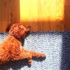 Photo by kidnappedcult | Leo is an apricot miniature poodle living and loving in Brooklyn, NY