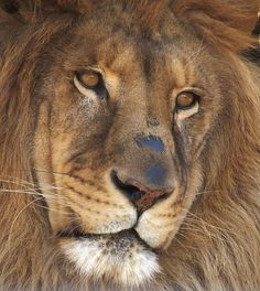 Male lion, Bakari, from the Utica Zoo in Utica, NY.