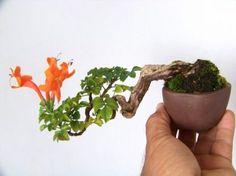 Tecomaria capensis bonsai