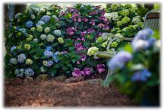 companion planting for hydrandeas