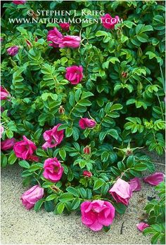 Salt Spray or Cape Cod Roses