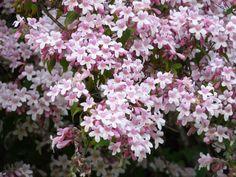 Kolkwitzia Amabilis 15/50/100 Seeds, Cold Hardy Flowering Beauty Bush Shrub