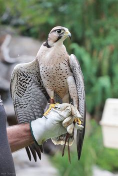 Lanier Falcon