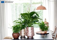 What capillary action does for your Peace Lily Peace Lily, Garden Plants, Indoor Plants, Indoor Gardening, White Kitchen Inspiration, Interior Inspiration, Driving Miss Daisy, Home Air Purifier, Modern Farmhouse Style