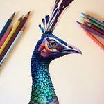 Morgan Davidson Illustration - Peacock sketch using colored pencil on a...
