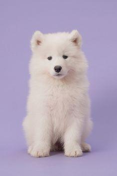 Wow, Teddy bear or a cute fluffy Samoyed pup?Do you love cute dogs like … - Welpen Super Cute Puppies, Cute Baby Dogs, Cute Dogs And Puppies, Maltese Puppies, Terrier Puppies, Samoyed Dogs, Pet Dogs, Dog Cat, Doggies