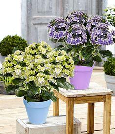 Deze bijzondere gevuldbloemige hortensia is verkrijgbaar in twee kleuren. Exclusief bij Bakker te koop!