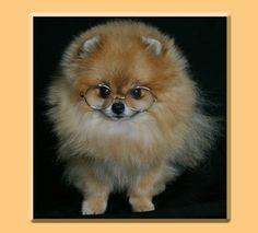 I heart Pomeranians!