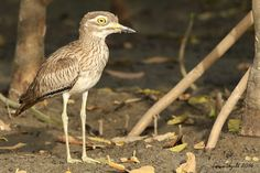 SENEGAL THICK-KNEE / KOTU / GAMBIA.