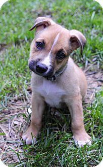 Chicago, IL - Boxer/Labrador Retriever Mix. Meet Colin, a puppy for adoption. http://www.adoptapet.com/pet/15545806-chicago-illinois-boxer-mix