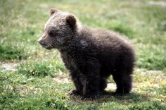 The WSPA-built bear sanctuary in Turkey was opened in 1995 and is home to ex-dancing bears. And orphaned bear cubs. https://donate.wspa.org.uk/form.asp?id=2668