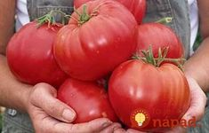 Heirloom Tomato Beefsteak, 25 Seeds BULK 100 Seeds Beefsteak Tomato Farm Grown Easy To by CheapSeeds Ground Cover Seeds, Beefsteak Tomato, Tomato Farming, Growing Tomatoes In Containers, Tomato Seeds, Home Garden Plants, Tomato Plants, Heirloom Tomatoes, Garden Tomatoes