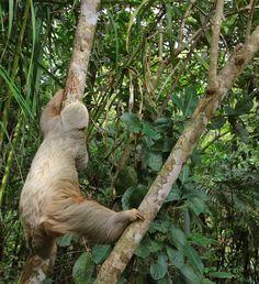 Sloth Baby Sloth, Cute Sloth, Sloths, Board, Animals, Animales, Animaux, Animal, Animais