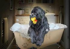 Rubber ducky you're the one. In the bathtub you're so fun! Cute Baby Animals, Animals And Pets, Really Big Dogs, Terra Nova, Cat Fountain, San Bernardo, Secret Life Of Pets, Dog Pictures, Dog Photos