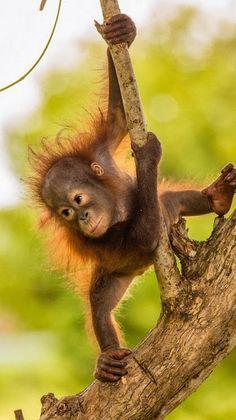 Baby Orangutan from Borneo Primates, Mammals, Nature Animals, Animals And Pets, Cute Baby Animals, Funny Animals, Baby Orangutan, Photo Animaliere, Baboon