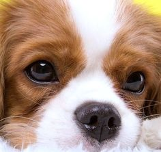 Lovely Cavalier close up