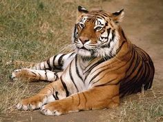 Las tribus locales consiguen que se incremente la población de tigres en India   SoyRural.es