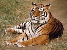 Las tribus locales consiguen que se incremente la población de tigres en India | SoyRural.es