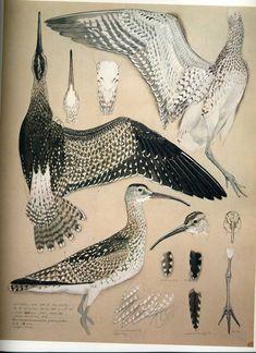 charles tunnicliffe (1901 - 1971) bird, illustration, natural history