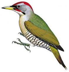 Japanese Woodpecker (Picus awokera)