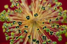 This was a close up of an Alium seed head. Taken from the garden and photographed indoors by David Ash.  Click for a larger view.