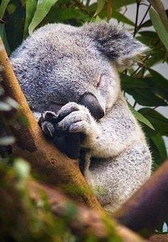 Koala! #koala #australia Australian Discount Club support koalas…