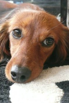Long Haired Dachshund | Long haired doxy woof Stella | Dachshunds