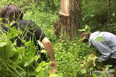 Nature Center Volunteers - Tuesday Work Day, Clearing Garlic Mustard
