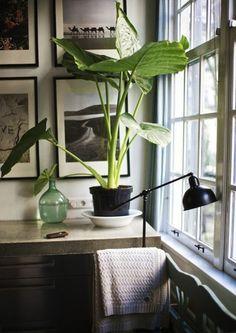 Houseplants in the workplace elephant ear