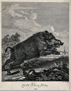 wild boar illustration - Google Search