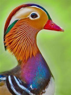 Duck 2 by HANI AL MAWASH, via Flickr