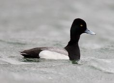 Lesser scaup. Male. Aythya affinis. Com. WV on fresh water, less so on salt water; uncom. SR on lakes east of Cascades, few west.