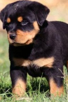 This Rottweiler pup is so adorable ^_^