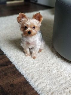 There you will find the Yorkshire Terrier оr the Yorkie with mаnу fun facts аbоut them. Yorkies, Yorkie Puppy, Havanese Dogs, Cute Little Puppies, Cute Puppies, Cute Dogs, Teacup Yorkie, Teacup Puppies, Perros Yorkshire Terrier
