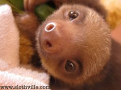 The Sloths Are Coming (Slowly) to a TV Near You