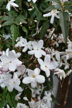 ~White Jasmine