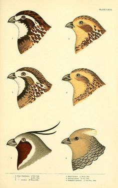 3 - A history of North American birds / - Biodiversity Heritage Library Crocodile Illustration, Nature Illustration, Botanical Illustration, Nature Prints, Bird Prints, Old Illustrations, Quail Hunting, Bird Drawings, Drawing Birds