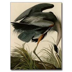 >>>Best          	Great Blue Heron Postcards           	Great Blue Heron Postcards lowest price for you. In addition you can compare price with another store and read helpful reviews. BuyDiscount Deals          	Great Blue Heron Postcards Online Secure Check out Quick and Easy...Cleck Hot Deals >>> http://www.zazzle.com/great_blue_heron_postcards-239036721834086890?rf=238627982471231924&zbar=1&tc=terrest