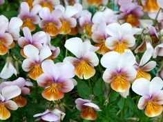 """Viola Little Angel - the first silver fragrant, hardy Viola.  Continuous color spring to fall.  Cushion forming.  8"""" Sun to Part shade.  Likes moist, well-drained soil.  Zones 5-8"""