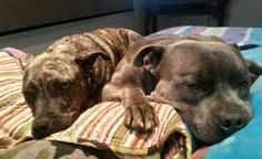 Storm and Elsa. Snuggle bugs. Sleeping staffies on the bed.