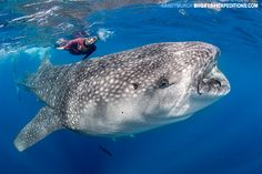 A mighty whale shark at Isla Mujeres.