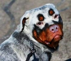 Rottweiler dog... This is not a fake, he has not been dyed. It is a condition called Vitiligo. Vitiligo is a condition in which the melanocytes in the skin and fur are unable to produce pigment. There are several reasons for this condition, including viral infections and autoimmune disorders